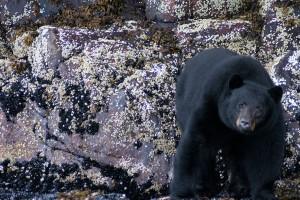 bearmussels