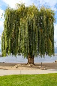 laketree